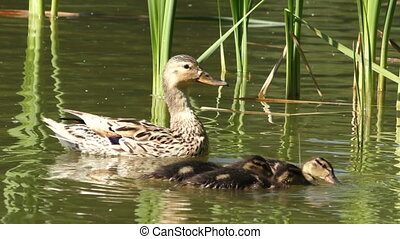 Wild duck family, mother with chicks swimming in a summer pond
