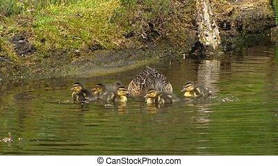 Wild Duck female mallard - anas platyrhynchos with ducklings in pond 01