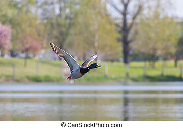 Wild duck flies. Mallard drake Flying.