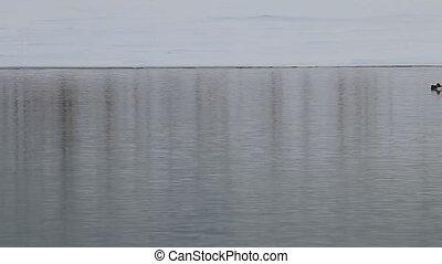 Wild duck goldeneyes