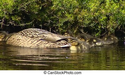 Wild Duck - mallard - anas platyrhynchos with ducklings in pond