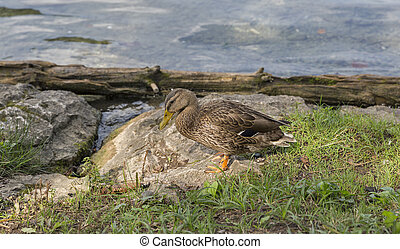 Wild duck on lake Bled in Slovenia