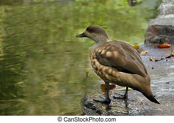 Wild duck on the lake