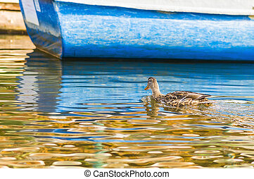 Wild duck on water