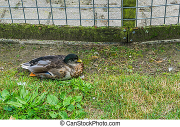 wild duck sitting in the grass with fence