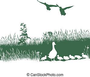 Wild duck spring