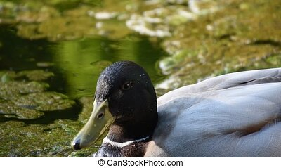 brown  Mallard duck resting in the sun, neutral grey background