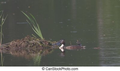 wild duck swims in the lake makes a nest out of nature...