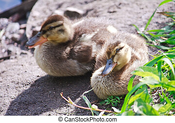 Wild ducklings have a rest