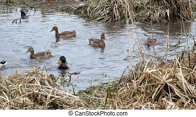 Wild ducks are fighting for a crumb of bread (Anas platyrhynchos)