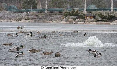 Wild ducks come down on water in Mezhyhirya in January 2015...
