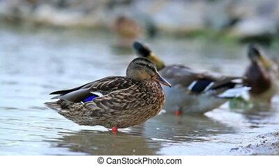 Wild ducks enjoy the rest