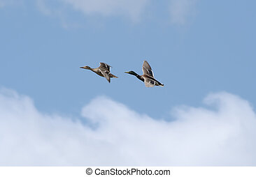 Wild Ducks in flight
