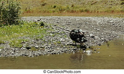 Wild ducks in pond - In small pond swim wild ducks and ...