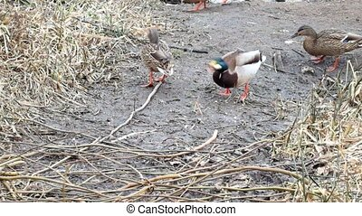 Wild ducks mallard eat homemade bread (Anas platyrhynchos)