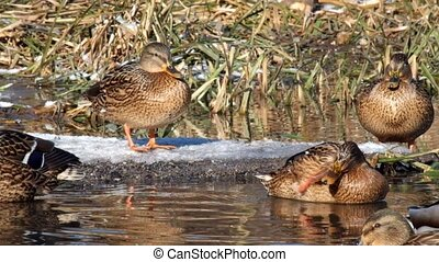 Wild ducks mallard enjoy the rays of the winter sun (Anas platyrhynchos)