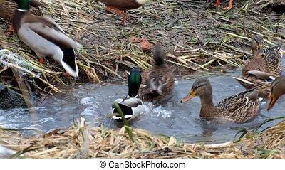 Wild ducks mallard fuss in a narrow creek (Anas platyrhynchos)