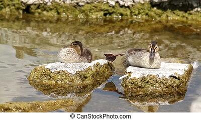 Wild ducks - Nice wild duck chicken