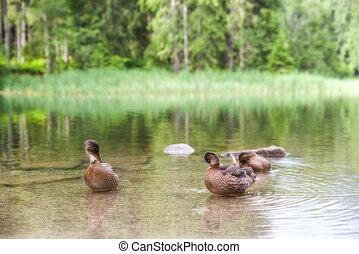 Wild ducks on lake