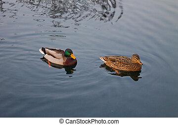 wild ducks on the lake