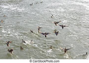 Wild ducks on the river in winter