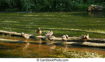 Wild ducks on top of an old log above the water