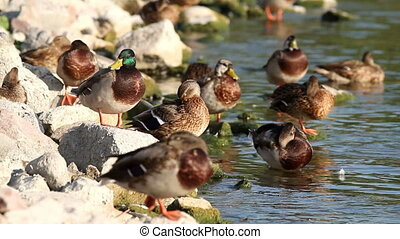 Wild ducks resting