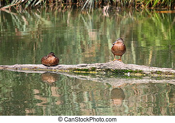 Wild ducks resting on a log