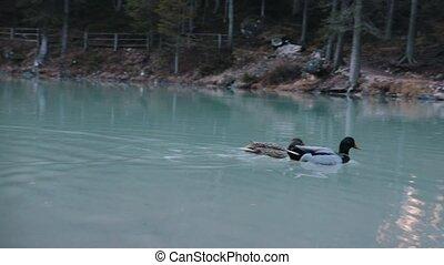 Wild ducks swim in the lake in muddy water. Telephoto shot