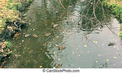 Wild ducks swimming