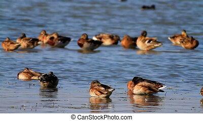 Wild ducks - The wild ducks enjoy the rest