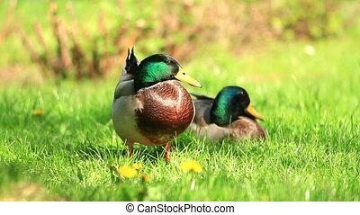Wild ducks - Two wild ducks resting on the grass