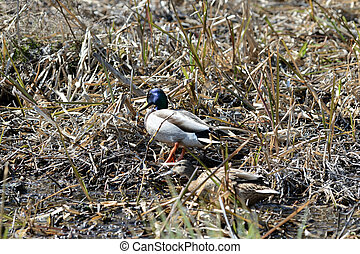 Wild ducks walking in the dry grass on a sunny day