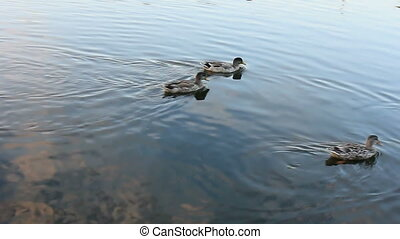 Wild Ducks. - Wild ducks swimming in pond in summer.