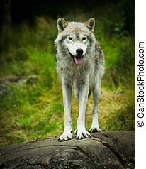 Close image of a wild, Eastern Gray Timber Wolf (Canis lupus) Standing atop a large stone ledge.