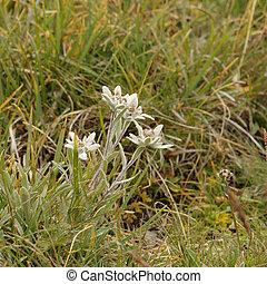 Wild Edelweiss in the grass (Leontopodium alpinum)
