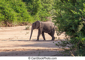 Wild elephant come to drink in Africa in national Kruger...