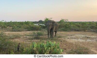 Wild elephant eating grass, Yala National Park