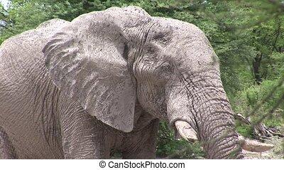 Wild Elephant (Elephantidae) in Africa