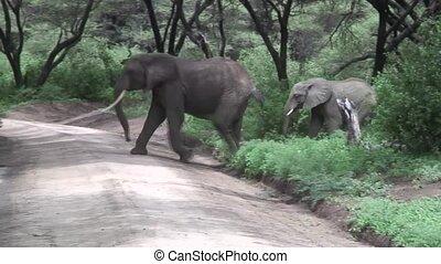 Wild Elephant (Elephantidae) in African Botswana savannah