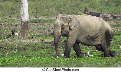 Wild Elephant Grazing in Yala National Park, Sri Lanka -...