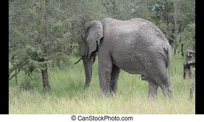 wild elephant in krugerpark