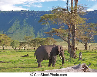 Wild elephant with tropical mountains behind in the african savanna - Ngorongoro park - Tanzania.