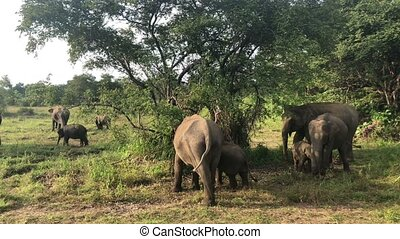 Wild elephants eating grass, Hurulu Eco Park