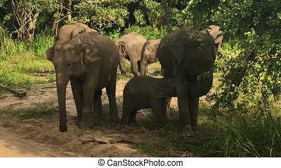 Wild elephants eating grass, Hurulu Eco Park, Sri Lanka