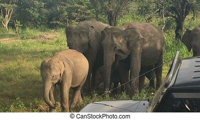 Wild elephants eating grass, Hurulu Eco Park, Sri Lanka.