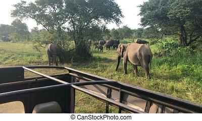 Wild elephants eating grass, Hurulu Eco Park, Sri...