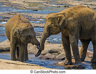 wild Elephants family bathing in river