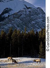 Wild Elk in Winter near Banff Alberta Canada