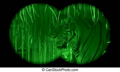 Wild endangered big tiger , viewed through night vision ...